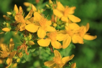 Blue-Sky-and-St-Johns-Wort_Yellow-Flowers__IMG_3804-480x320